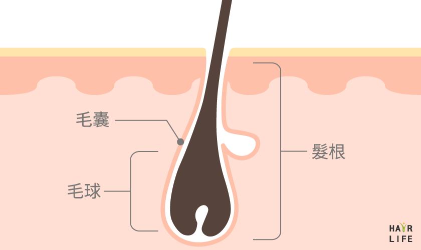 毛囊的構造及功能